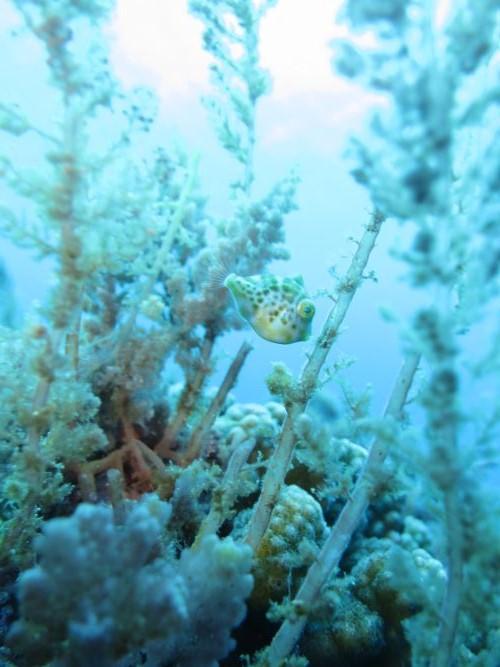 ノコギリハギ幼魚3