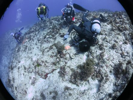 ダイビング巨大ナマコ