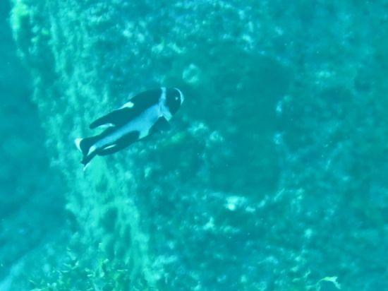 マダラタルミ幼魚