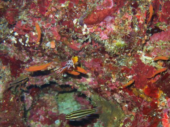 ヒオドシベラの幼魚も出る